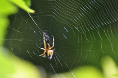 Spinning spider. A successful spider has caught an insect in its web at a garden in Karlstad, Sweden royalty free stock images