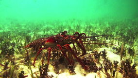 Spinny Lobster walks on the bottom of caribbean sea stock video
