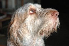 Spinone Dog`s Eye. Italian Spinone dog face side view, the dog sends dog`s eyes towards somebody with a devoted facial expression Stock Photo