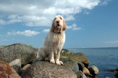 Spinone dog sits on stones at a beach royalty free stock images
