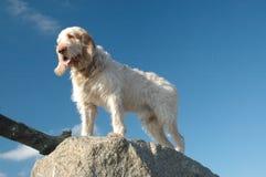 Spinone-Hund Stockbild