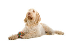 Spinone Italiano dog Stock Photo