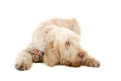 Spinone Italiano dog Royalty Free Stock Photography