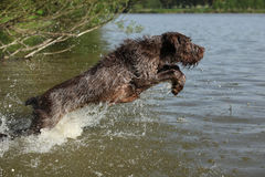 Spinone italiano jumping in water Royalty Free Stock Images