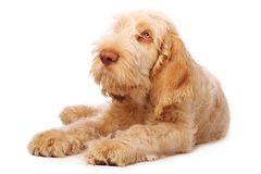 Spinone puppy. Adorable italian spinone puppy with big sad eyes Stock Photo