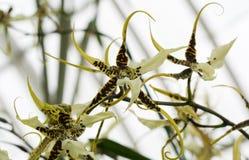 Spinorchideeën Royalty-vrije Stock Fotografie