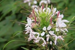 Spinosa цветка или cleome паука в парке/саде Стоковые Фотографии RF