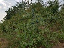 Spinosa de prunus de baie de prunellier photographie stock libre de droits