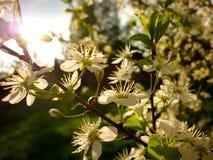 Spinosa del Prunus (endrino, endrino), luz contraria del sol imagenes de archivo