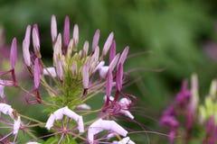 Spinosa för spindelblomma eller cleomei parkera/trädgården Arkivfoto