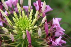 Spinosa för spindelblomma eller cleomei parkera/trädgården Royaltyfri Foto