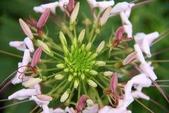 Spinosa för spindelblomma eller cleomei parkera/trädgården Arkivbild