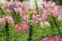 Spinosa för spindelblomma eller cleomei parkera/trädgården Royaltyfria Bilder
