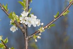 Spinosa sleedoorn-Prunus Royalty-vrije Stock Afbeelding