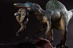 Spinosaurus сдерживая тело динозавра на темной предпосылке стоковые фото