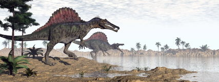 Spinosaurus dinosaurs in desert - 3D render Royalty Free Stock Photo