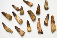 Spinosaurus-Zähne lizenzfreie stockfotos