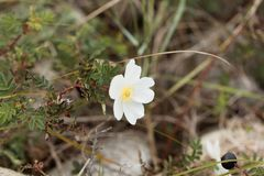 Spinosissima rose de Burnet Rosa Photographie stock libre de droits