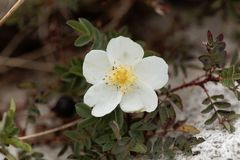 Spinosissima rose de Burnet Rosa Photo libre de droits