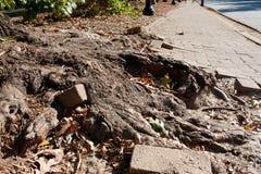 Spinte massicce della radice dell'albero tramite il marciapiede del mattone pieno immagine stock