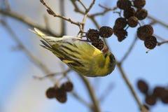 Spinus del Carduelis del pájaro cantante de Siskin del eurasiático Fotos de archivo libres de regalías