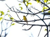 Spinusspinus - Eurasiansiskin som sjunger på ett träd på vår Royaltyfri Foto