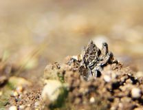 Spinwolf die (Lycosa-tarantula) in de zon zonnebaden Stock Fotografie
