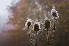 Spiny świrzepa w lesie, zawijającym w pajęczynie, na ciemnym backgroun fotografia royalty free