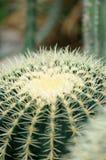 Spiny кактус Стоковая Фотография