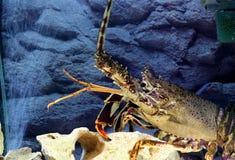 spiny омара королевское стоковое изображение rf