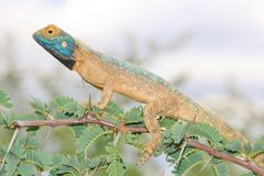 Spiny Agama - Lizard Backgrounds from Africa - Blue-headed Beauty Stock Images