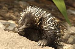 Spiny anteater Royalty Free Stock Photography
