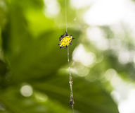 Spiny Backed Orb Weaver Spider. A spiny backed orb weaver spider climbs its web to retrieve some more food Stock Photography