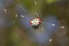 Spiny-Backed Orbweaver Spider Royalty Free Stock Photography