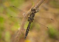 Spiny Baskettail Dragonfly zdjęcie royalty free