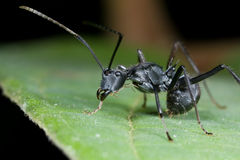 Spiny black ant side view Royalty Free Stock Images