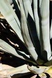 Spiny bluegreen agawa liście Obraz Stock
