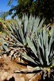 Spiny bluegreen agawa liście Fotografia Royalty Free