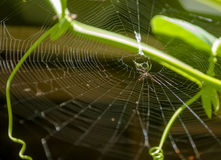 Spiny Bodied Spider Stock Photo