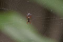 Spiny Bodied Spider in Its Web. In Tortuguero National Park in Costa Rica Stock Photography