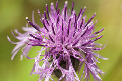 Spiny burdock flower on green meadow. Spiny burdock flower on beautiful green meadow Royalty Free Stock Images