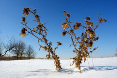 Spiny burdock on snow field Stock Photo