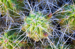 Free Spiny Cactus Royalty Free Stock Photos - 29808388