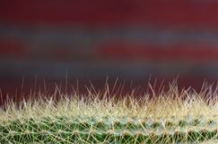 Spiny Cactus close-up for background or wallpape. R with variations of color Royalty Free Stock Images