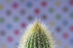Spiny Cactus close-up for background or wallpape. R with variations of color Stock Image