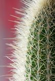 Spiny Cactus close-up for background or wallpape. R with variations of color Royalty Free Stock Photo