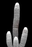 Spiny Cactus Fingers Royalty Free Stock Photos
