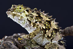 Spiny chameleon (Trioceros laterispinis) Stock Photos