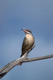 Spiny-cheeked Honeyeater Stock Photography