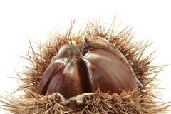 Spiny Chestnut Cutout Stock Photography